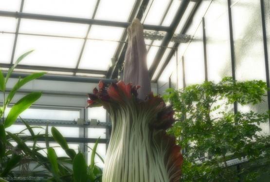 Riesenblume mit merkwürdigem Namen
