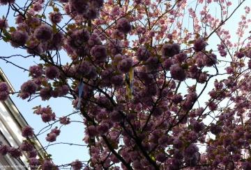 Kirschblütenzeit in der Bonner Altstadt