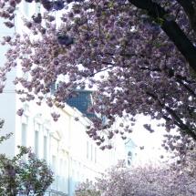 Kirschblüte in der Bonner Altstadt