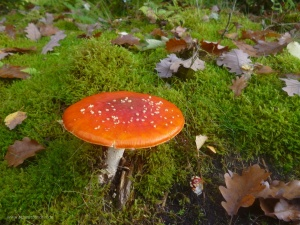 roter Pilz am Biggesee